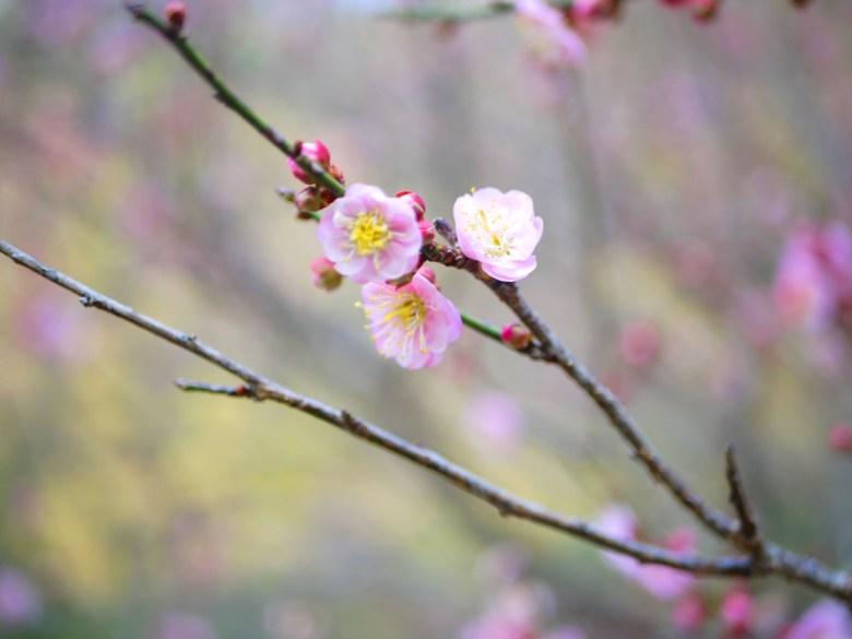 粉櫻特寫 | 春天的禮物 | 八仙山國家森林遊樂區 | Basianshan National Forest Recreation Area | 巡日旅行攝