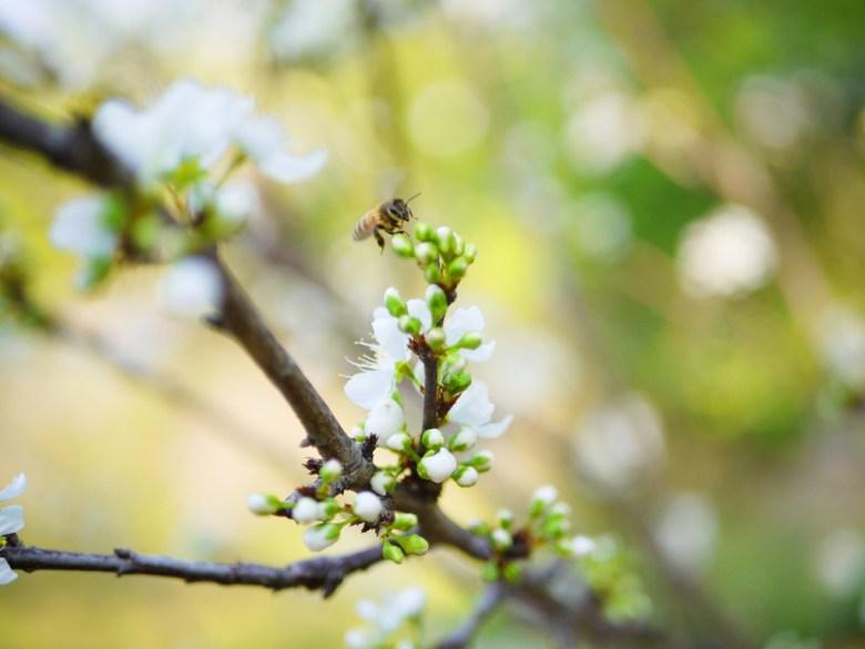潔白的梅花 | 梅花上的小蜜蜂 | メイシャンこうえん | 梅山公園 | 梅山 | 嘉義 | RoundtripJp