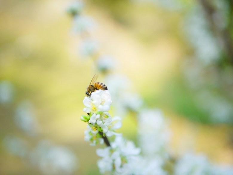 蜂與梅 | Plum blossom | 梅の花 | うめ | ウメ | メイシャンこうえん | Meishan Park | 巡日旅行攝
