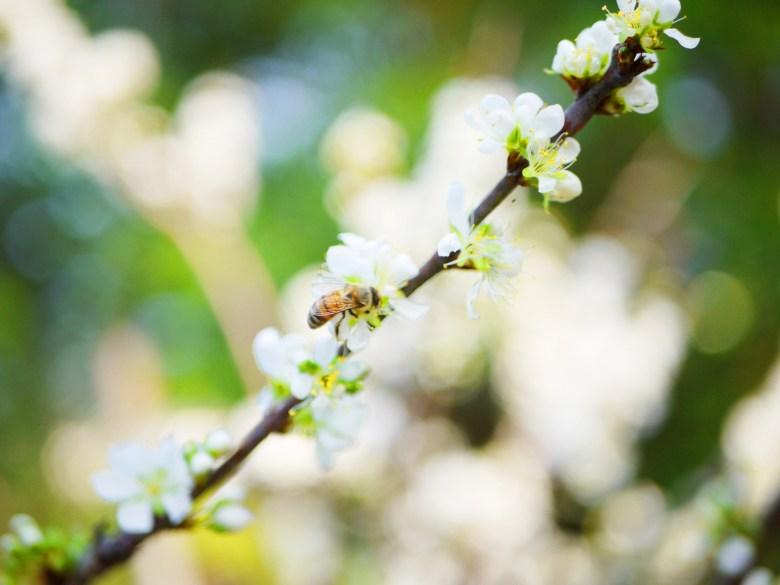 小蜜蜂與梅花 | 如夢似幻的白與自然的綠 | 梅の花 | うめ | ウメ | メイシャンこうえん | Meishan Park | RoundtripJp