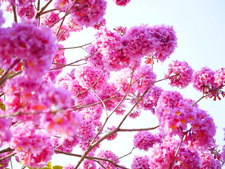 粉紅花與藍天 | 洋紅風鈴木 | 梅山公園 | メイシャンこうえん | Meishan Park | 梅山 | 嘉義 | RoundtripJp