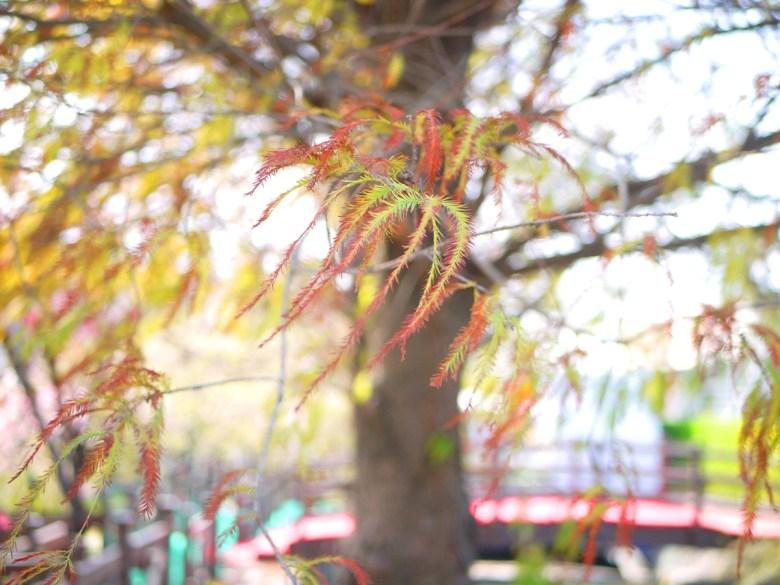 落羽松 | 落羽杉 | 美麗的秋色 | 芬園花卉生產休憩園區 | ウーリー | Wuri | Taichung | Wafu Taiwan | RoundtripJp