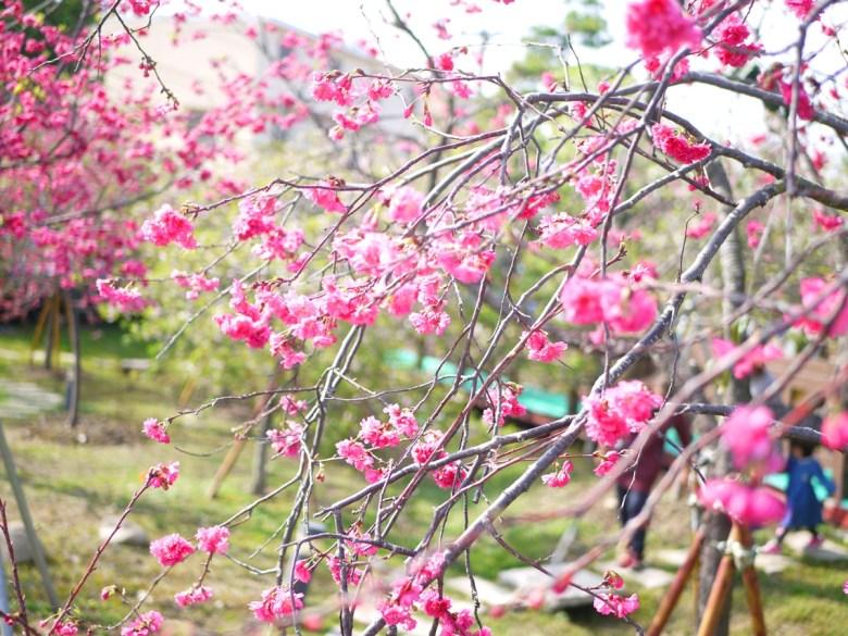 八重櫻 | 牡丹櫻 | 緋櫻 | 鮮豔紅潤 | 芬園花卉生產休憩園區 | 日本味 | RoundtripJp