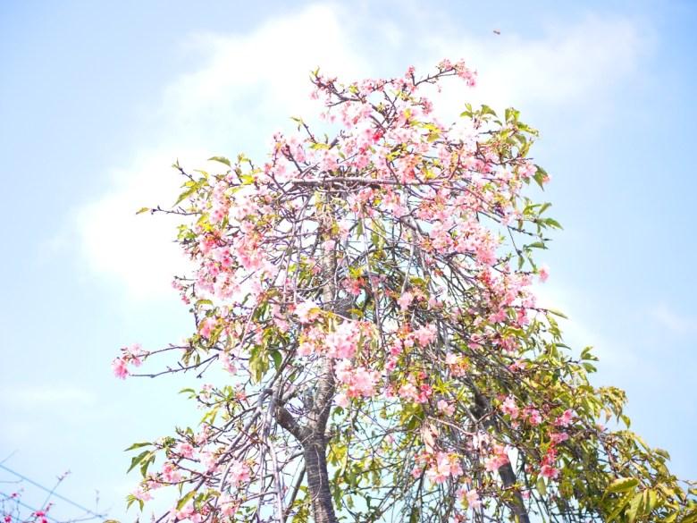枝垂櫻 | 洲府枝垂櫻 | 美麗動人 | 芬園花卉生產休憩園區主題櫻花 | 烏日 | 台中 | 巡日旅行攝