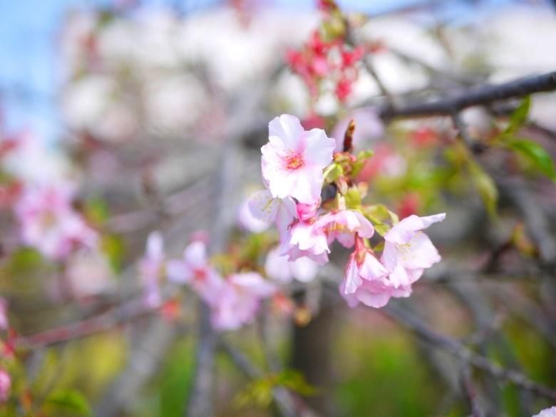 枝垂櫻 | 洲府枝垂櫻 | Zhou Fu Weepin Cherry Tree | 臺灣早櫻與染染井吉野櫻人工授粉的新品種 | 烏日 | 台中 | 巡日旅行攝