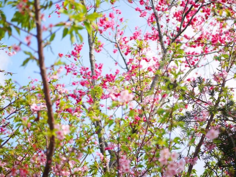 染井吉野櫻 | 山櫻花 | 粉紅與桃紅 | 芬園花卉生產休憩園區 | 日本味 | RoundtripJp