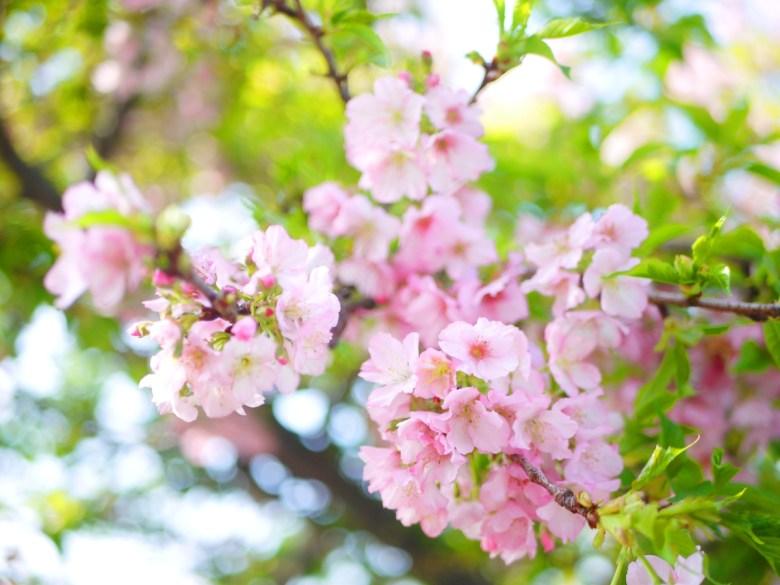 染井吉野櫻 | 日本櫻花 | 東京櫻花 | 淡淡粉紅色 | 烏日 | 台中 | Wuri | Taichung | RoundtripJp