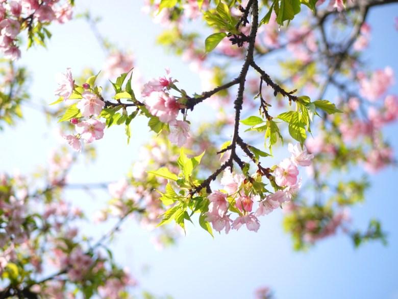 富士櫻 | 粉嫩動人 | 芬園花卉生產休憩園區主題櫻花 | 烏日 | 台中 | 巡日旅行攝