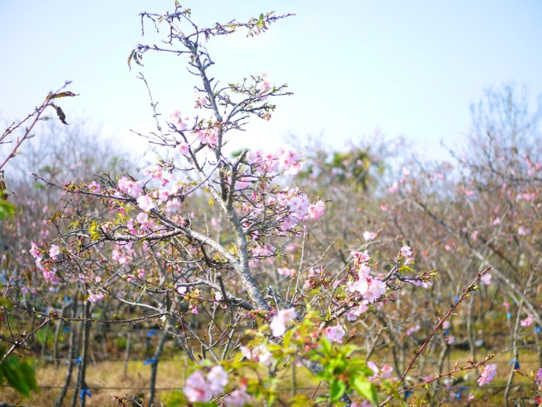 Sakura | さくら | サクラ | Wuri | Taichung | 芬園花卉生產休憩園區主題櫻花 | 烏日 | 台中 | 巡日旅行攝