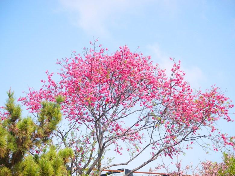 滿開的山櫻花 | 滿滿日本味 | Sakura | さくら | サクラ | Wuri | Taichung | 巡日旅行攝