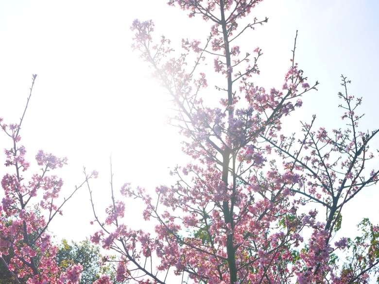 滿開的河津櫻與燦爛的日光 | 美的像是一幅畫 | 烏日 | 台中 | Wuri | Taichung | RoundtripJp