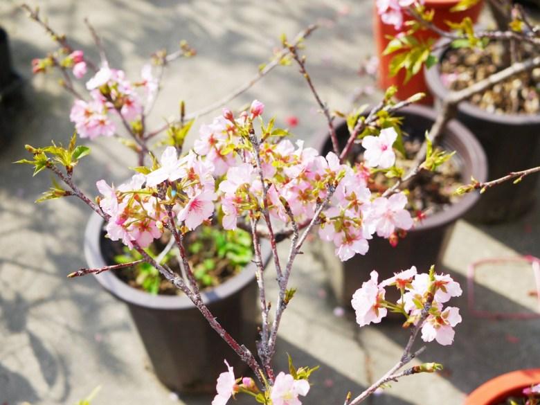 園區販售的櫻花盆栽 | 芬園花卉生產休憩園區主題櫻花 | 烏日 | 台中 | RoundtripJp