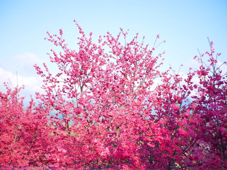 很藍的青空與滿開的緋寒櫻 | 新社私人農家の櫻花秘境 | Xinshe | Taichung | 巡日旅行攝