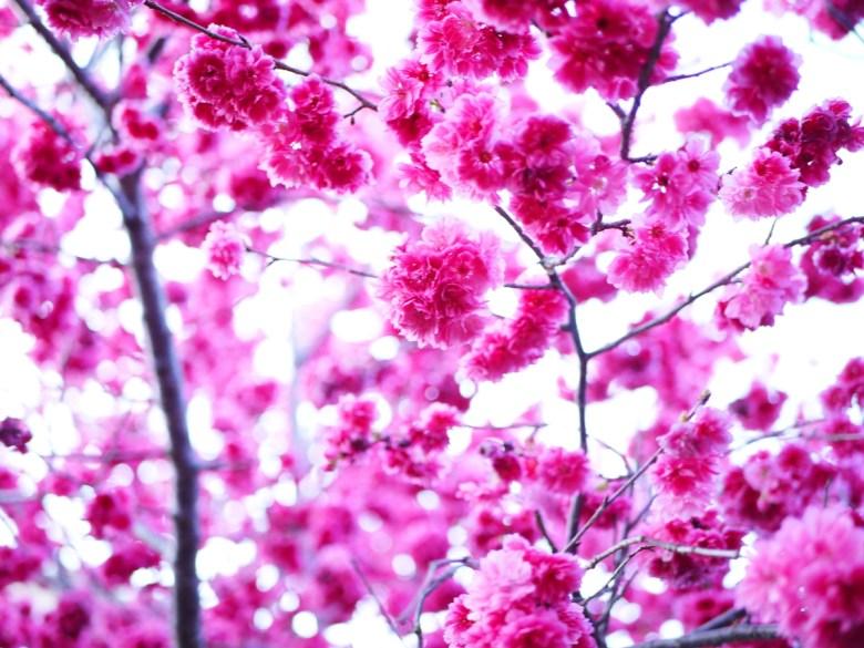 把天空填滿的八重緋寒櫻 | 艷麗紅潤 | 新社私人農家の櫻花秘境 | さくら | しんしゃ | RoundtripJp