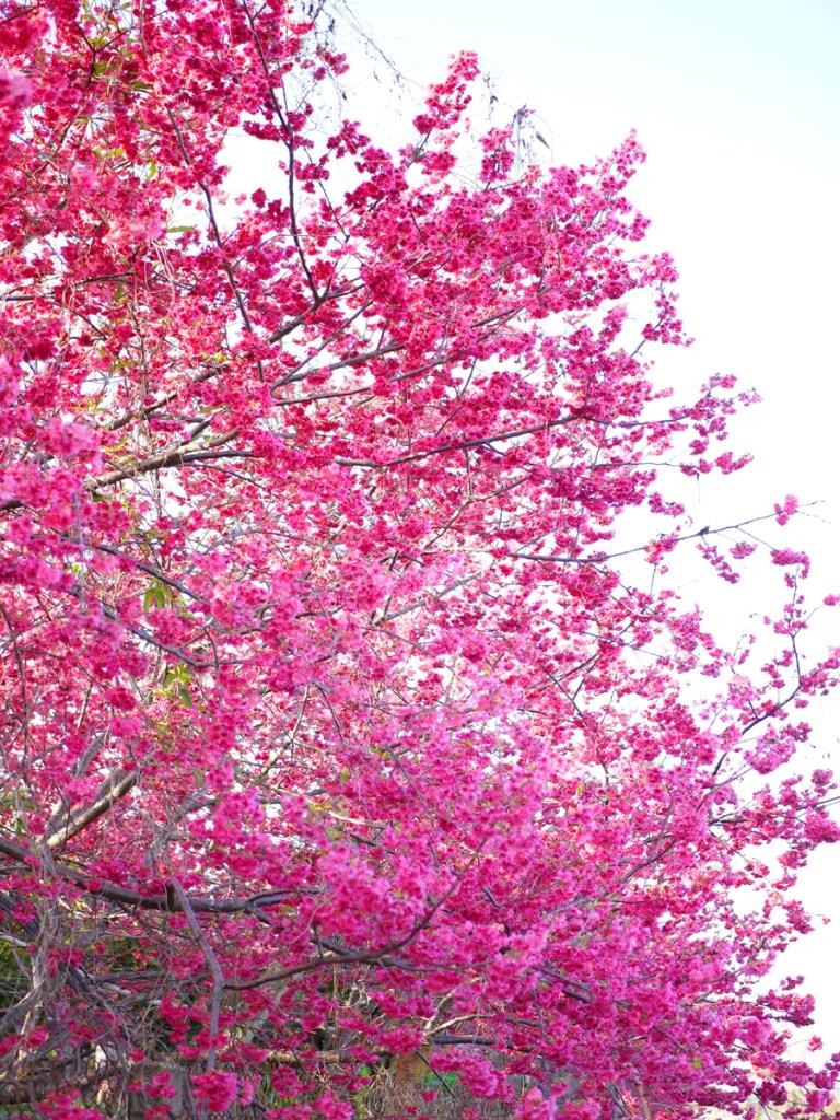 滿開的重瓣緋寒櫻 | 最美的賞花時節 | 新社私人農家の櫻花秘境 | Xinshe | Taichung | 巡日旅行攝