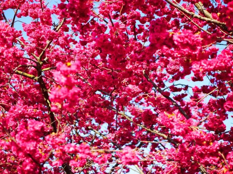 紅潤的重瓣緋寒櫻 | 將這片藍天滿滿填滿 | Xinshe | Taichung | 新社 | 台中 | 巡日旅行攝