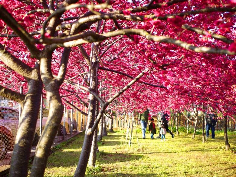 櫻花樹海 | 綠色草地 | 櫻花隧道 | 櫻花秘境 | Sakura | Xinshe | Taichung | 新社 | 台中 | 巡日旅行攝