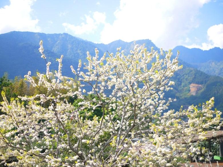李花與青山 | 山上的清新自然 | 感受山上的森呼吸 | 信義 | 南投 | 巡日旅行攝