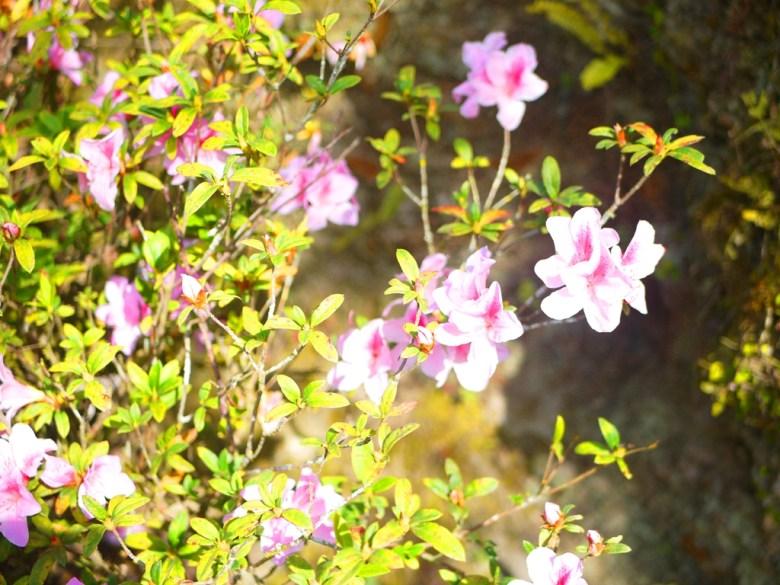 美麗的粉色花卉 | 草坪頭玉山觀光茶園 | 信義 | 南投 | Xinyi | Nantou | RoundtripJp
