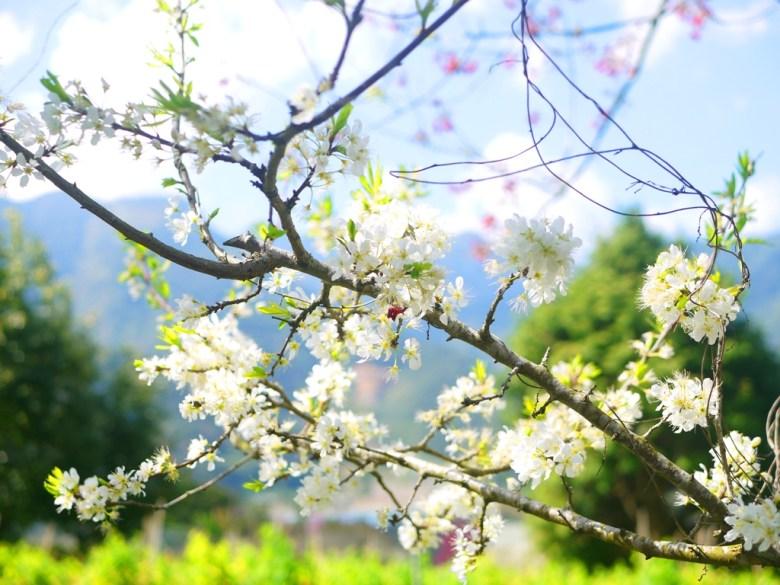 白皙的李花 | 陽光普照 | 清新的綠 | 芬芳的白 | Xinyi | Nantou | 巡日旅行攝