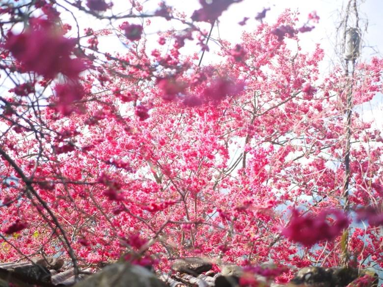 大滿開的緋寒櫻 | 山櫻花 | 草坪頭玉山觀光茶園 | 信義 | 南投 | 巡日旅行攝