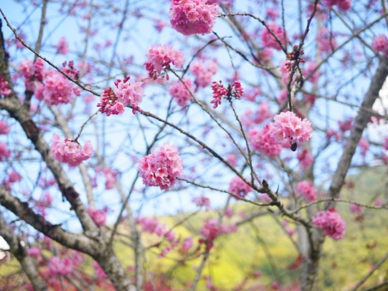 粉嫩的富士櫻 | 櫻花 | 草坪頭玉山觀光茶園 | 信義 | 南投 | 巡日旅行攝