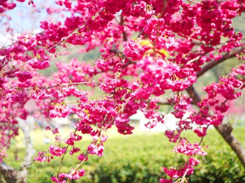 紅潤鮮豔的山櫻花 | 緋寒櫻 | 玉山茶園 | 信義 | 南投 | 巡日旅行攝
