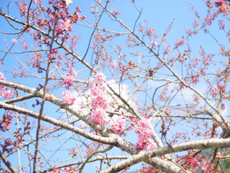 青空與櫻 | 天很藍 | 櫻粉嫩 | 草坪頭玉山觀光茶園 | 信義 | 南投 | 巡日旅行攝