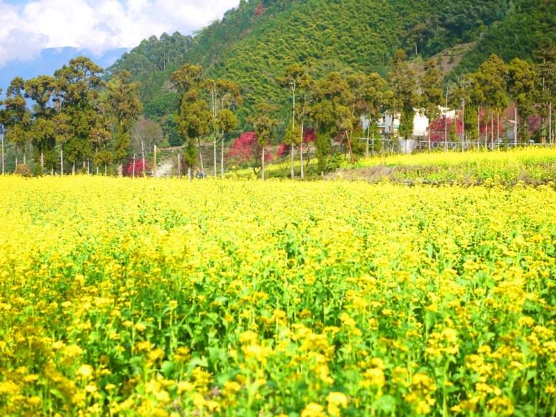 鮮豔的黃 | 油菜の花田 | 超廣闊的黃色花海 | 草坪頭玉山觀光茶園 | 信義 | 南投 | 巡日旅行攝