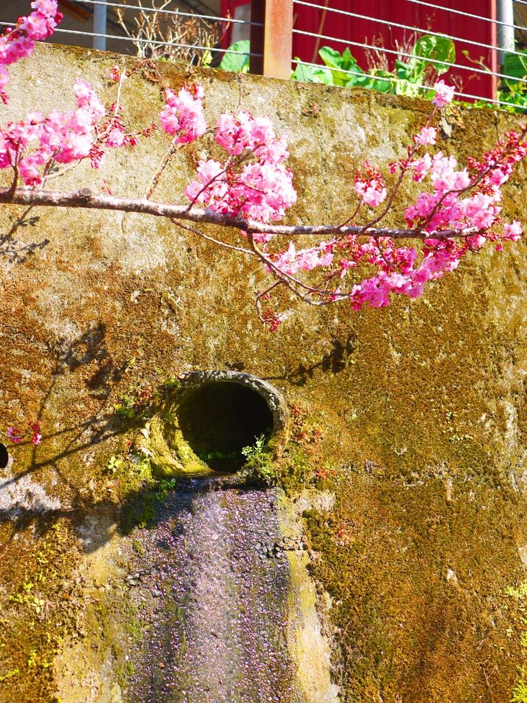 隨處可見的櫻花 | 排水孔 | 草坪頭玉山觀光茶園 | 信義 | 南投 | RoundtripJp