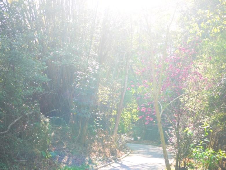 陽光燦爛 | 漳和撼龍步道櫻花秘境 | Zhang Heli Dragon Trail | 漳和 | 南投 | 巡日旅行攝