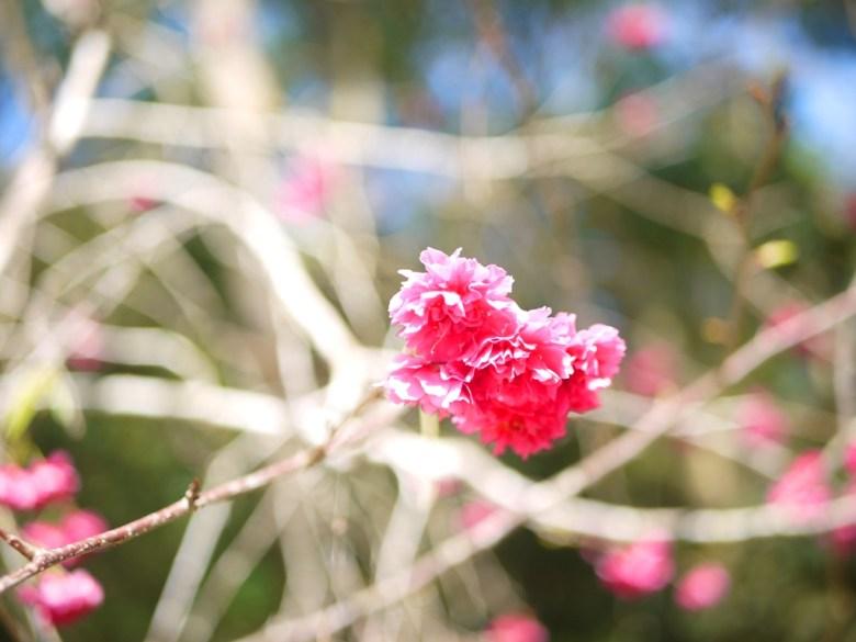 八重櫻 | 牡丹櫻 | 紅潤鮮豔 | 美不勝收 | 漳和撼龍步道櫻花秘境 | Zhang Heli Dragon Trail | 漳和 | 南投 | RoundtripJp