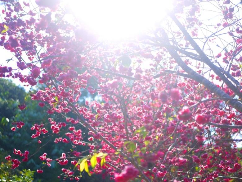 盛開的八重櫻 | 牡丹櫻 | 山櫻花 | 日本味 | 漳和撼龍步道櫻花秘境 | Zhang Heli | Dragon Trail | 巡日旅行攝