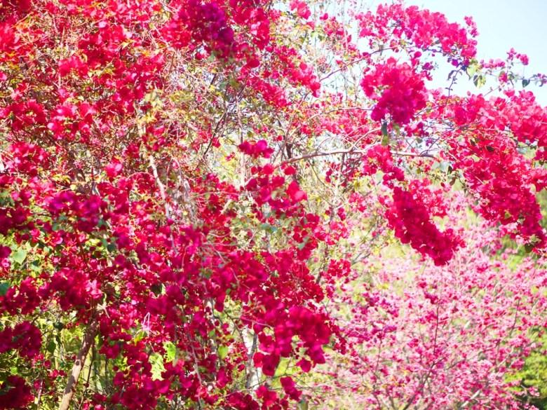 滿開的紅花與山櫻 | Sakura | さくら | サクラ | 櫻花步道秘境 | 漳和撼龍步道 | 漳和 | 南投 | RoundtripJp