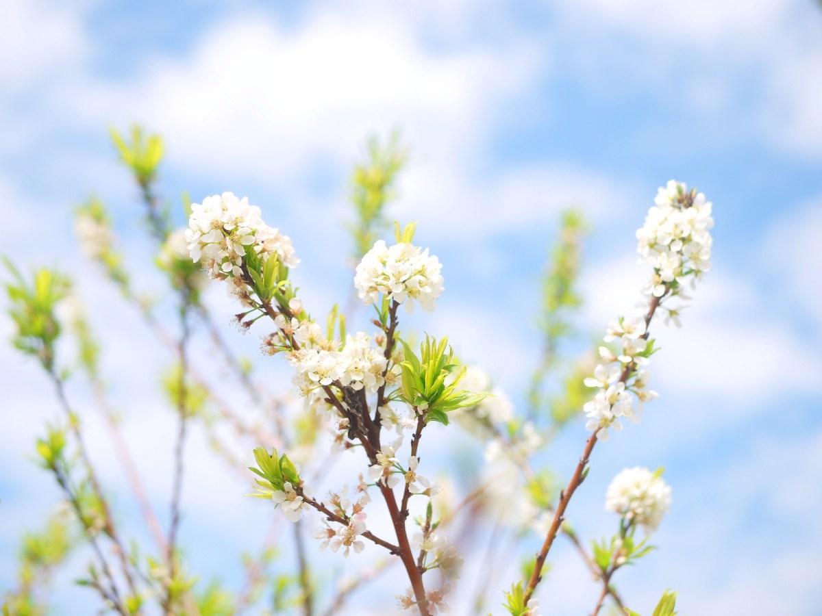 藍藍的天與白皙的李花 | 天好藍 | 花好白 | 機車停車場前 | 虎山巖正門旁邊 | 虎山巖 | 花壇 | 彰化 | 巡日旅行攝