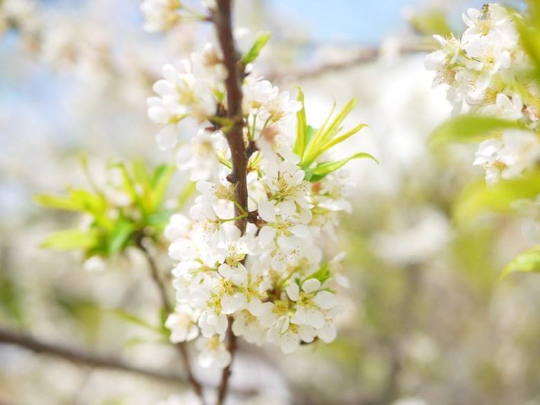 自然的氛圍 | 美麗的李花 | 機車停車場前 | 虎山巖正門旁邊 | Hushanyan | Huatan | Changhua | RoundtripJp