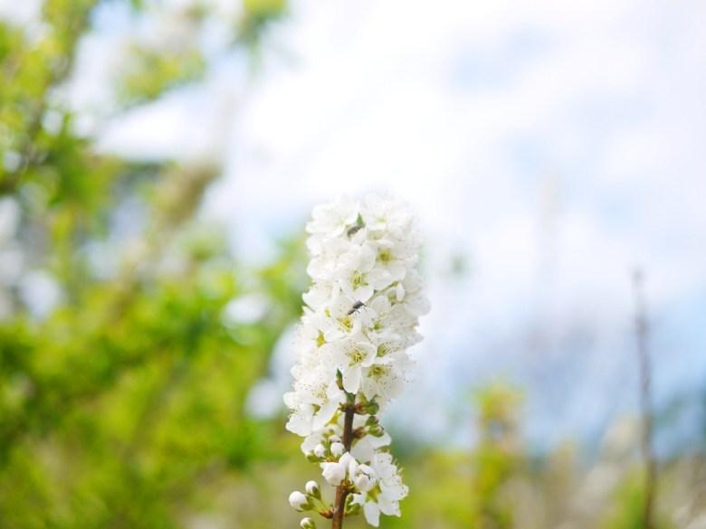 盛開的李花 | 白皙 | 藍天 | 綠葉 | 停車場後方 | 虎山巖 | 花壇 | 彰化 | 巡日旅行攝