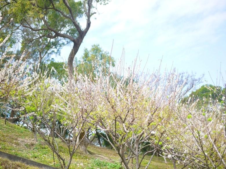 廣植在山坡地上的美麗李花樹海 | 自然的山 | 虎山巖 | 花壇 | 彰化 | 巡日旅行攝
