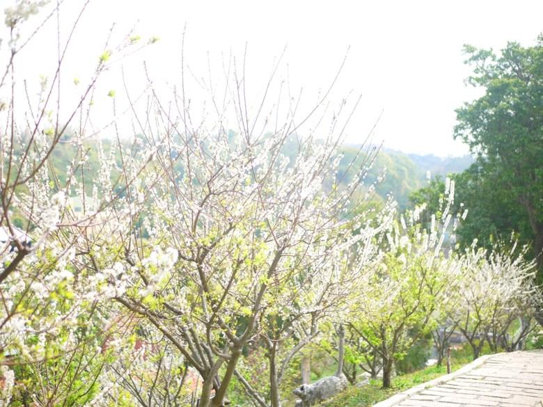 李花並木 | 滿滿的銀白世界 | 雪白世界 | 虎山巖 | 花壇 | 彰化 | 巡日旅行攝