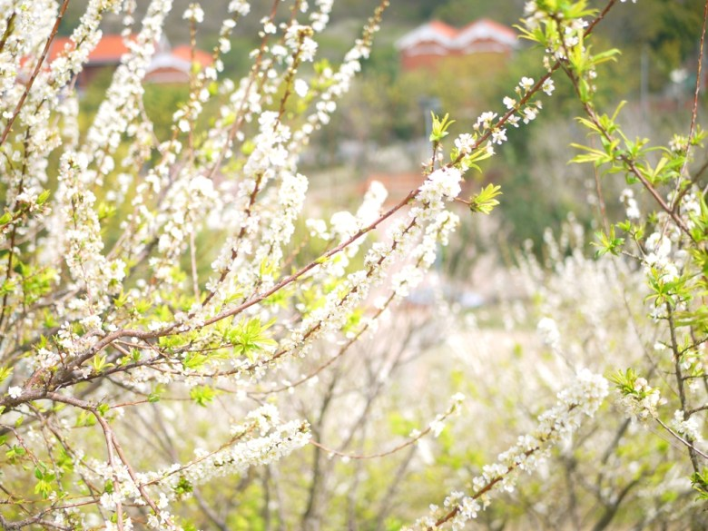 盛開的李花 | 銀白世界 | 滿滿李花 | 高達580棵 | Hushanyan | Huatan | Changhua | RoundtripJp