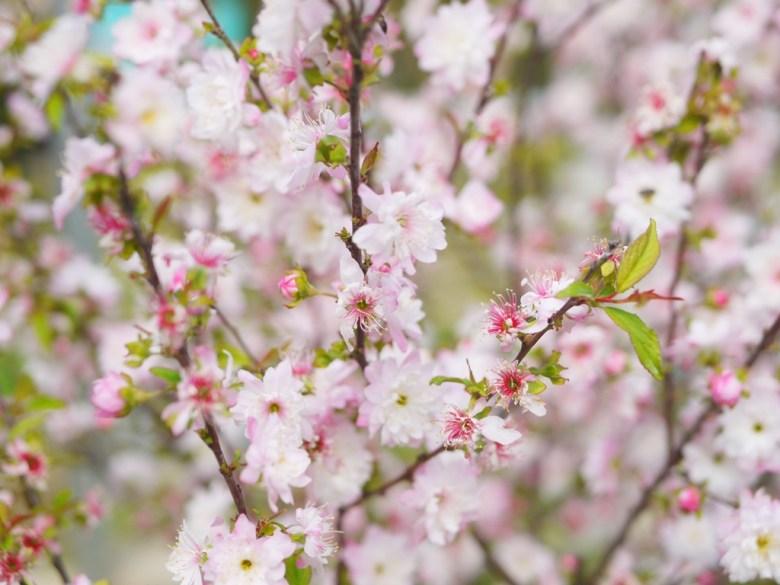 美麗的梅花 | 白裡透紅 | 粉紅粉白 | 少女系色彩 | Hushanyan | Huatan | Changhua | RoundtripJp