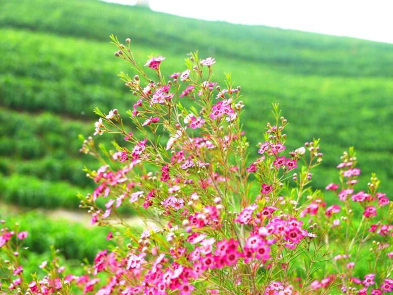 波斯菊與尚未開花的綠色金針花草 | 虎山巖 | 花壇 | 彰化 | 巡日旅行攝