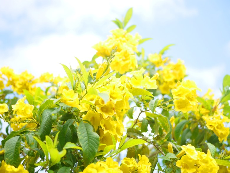 黃色喇叭花 | 藍色天空 | Hushanyan | Huatan | Changhua | RoundtripJp