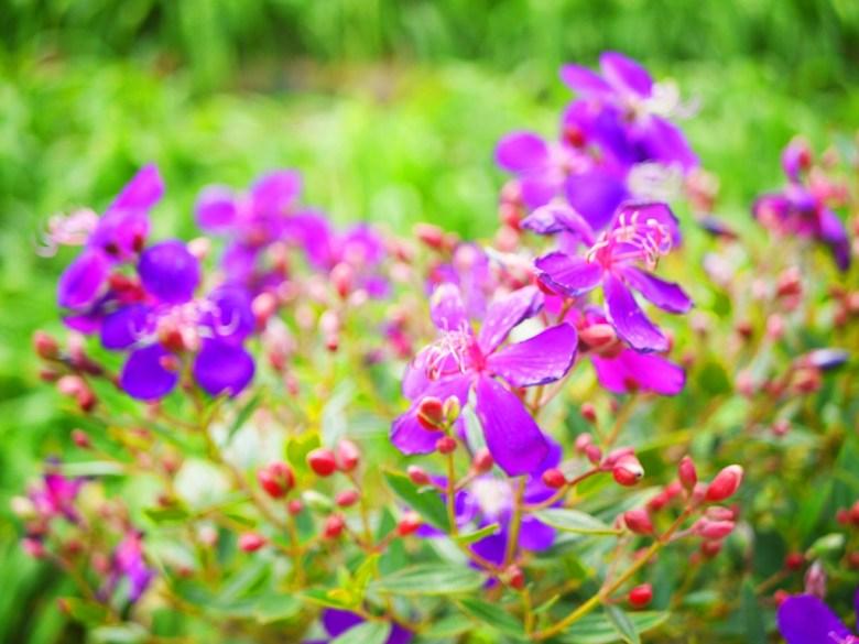 紫色花花與尚未開花的綠色金針花草 | 虎山巖 | 花壇 | 彰化 | 巡日旅行攝