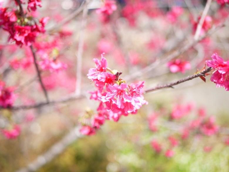 開林寺旁八重櫻 | 美艷動人 | 日本味 | 湖水路 | Yuanlin | Changhua | RoundtripJp