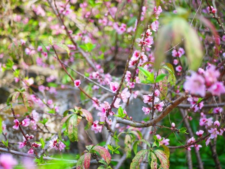 美麗的粉紅桃花 | 綺麗 | 湖水路旁橋上 | いんりん | ジャンホワ | RoundtripJp