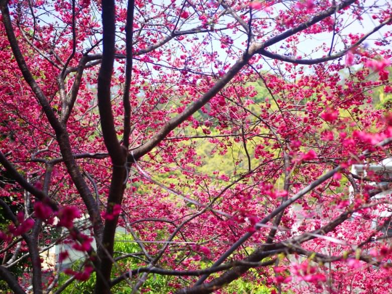 滿開的八重櫻與青山 | 美不勝收 | 鮮豔紅潤 | 湖水 | 員林 | 彰化 | 巡日旅行攝