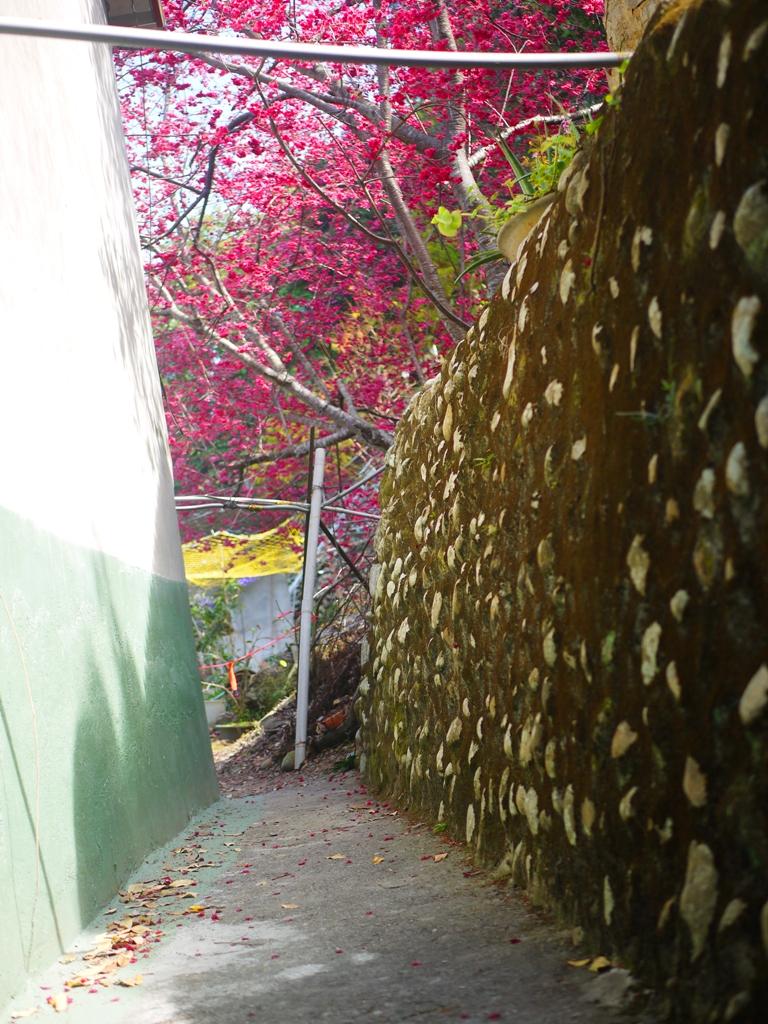 湖水里八重櫻秘境的縱橫小巷 | 櫻花秘境 | 湖水 | 員林 | 彰化 | 巡日旅行攝