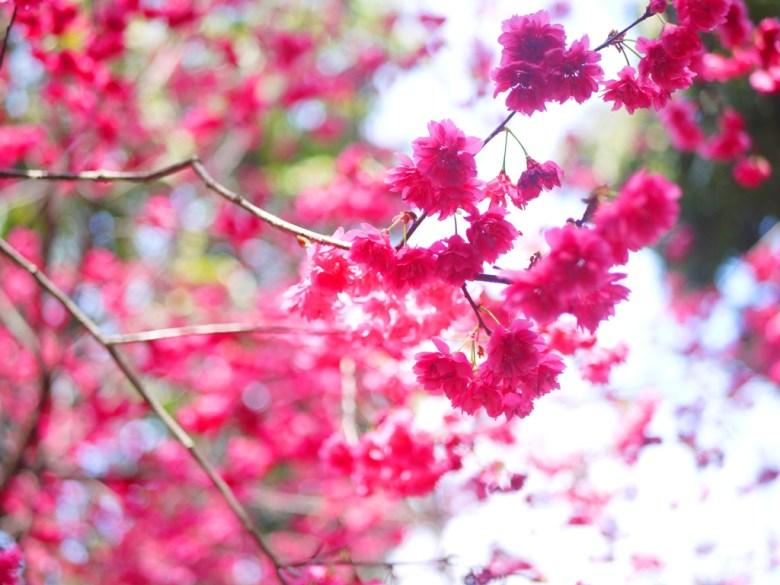 紅潤綻放的櫻花之美 | 八重櫻 | 櫻花秘境 | 湖水 | 員林 | 彰化 | 巡日旅行攝
