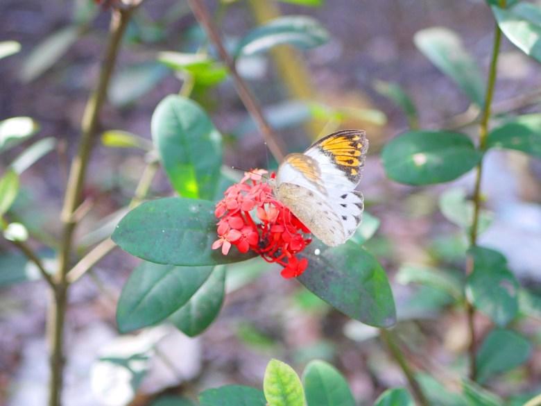 沿途的豐富自然生態 | 美麗的蝴蝶 | 湖水里八重櫻秘境 | 湖水 | 員林 | 彰化 | RoundtripJp